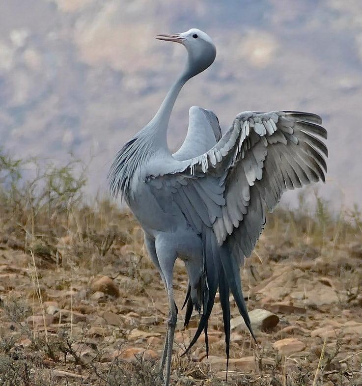 The Blue Crane of South Africa on a Hayward Safari